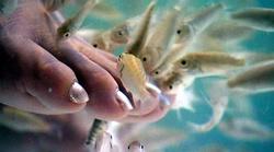 Рыбки Гарра руфа и пилинг ими